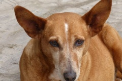 Patenhund-Poldi